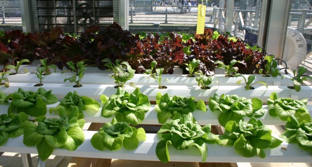 Leafy_Greens_Hydroponics-e1423014763627
