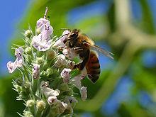 220px-Bees_1_bg_082804