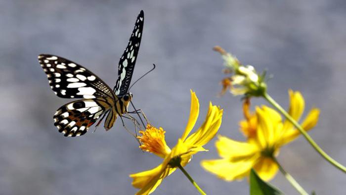 butterflies-extinction