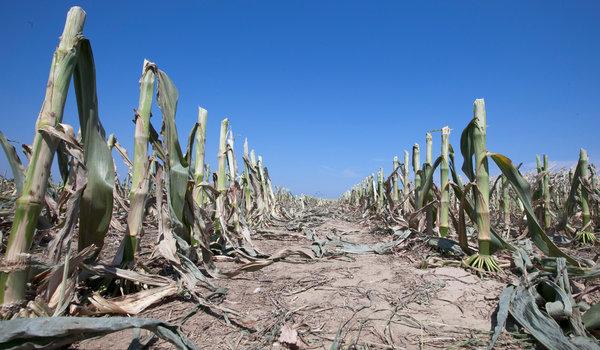 maize-drought12