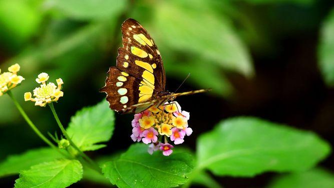 mariposas-polinizacion-resultado-aseguraran-continuidad_LPRIMA20150711_0110_24