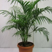 Palma-areca-bambu