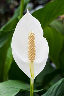 Spathiphyllum_cochlearispathum_RTBG